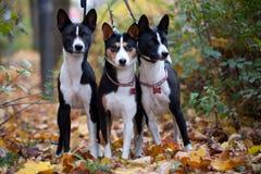 Tre Basenji hundkapplöpning i höst parkerar Arkivbild