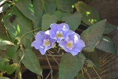 Tre bei fiori blu di ipomea in fioritura Fotografia Stock Libera da Diritti