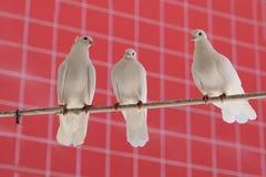 Tre bei piccioni bianchi Fotografie Stock Libere da Diritti