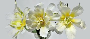 Tre bei tulipani bianco-gialli, vista superiore del primo piano Fotografie Stock