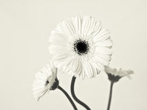 Tre bianco Gerberas Fotografia Stock Libera da Diritti