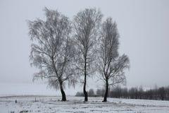 Tre björkar bland ett vinterfält Arkivbild