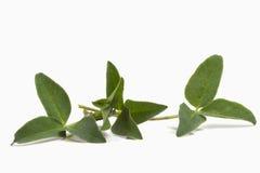 Tre blad tre-täckt grön ung växt av släktet Trifolium Arkivbild