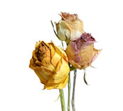 Tre bleknade vissna Rose Flowers på vit arkivbild
