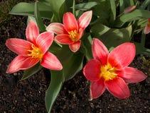 Tre blomma röda tulpan i en rabatt Royaltyfri Bild