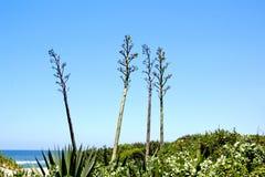 Tre blomma sisalhampaväxter som växer på sanddyn royaltyfri bild