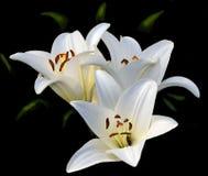 Tre blommor av en vit lilja Arkivbild