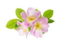 Tre blommor av rosa löst steg Arkivbilder