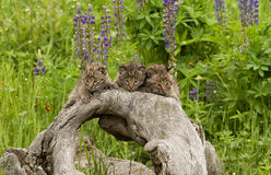 Tre Bobcat Kittens med vildblommor Royaltyfri Bild