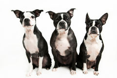 Tre Boston Terrier Arkivfoton