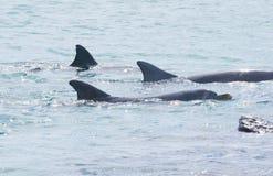 Tre bottlenosedelfin som simmar i åtsittande bildande Arkivbild