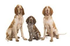 Tre braccoitalianohundkapplöpning, två vuxna människor och en valp som ser till royaltyfria bilder