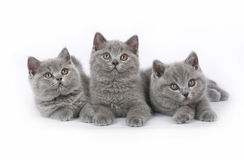 Tre British kattunge Royaltyfri Foto