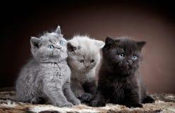 Tre brittiska kattungar för kort hår Royaltyfri Foto