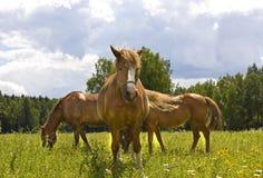 Tre bruna hästar på äng Arkivbilder