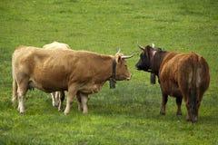 Tre bruna kor Fotografering för Bildbyråer
