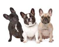 Tre bulldog francesi in una riga Fotografie Stock Libere da Diritti