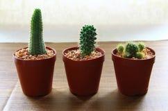 Tre cactus in un vaso da fiori, fondo leggero di carta Immagine Stock Libera da Diritti
