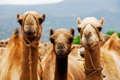 Tre cammelli in Etiopia Immagini Stock Libere da Diritti