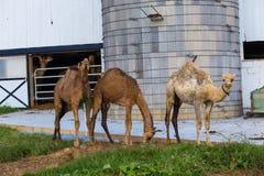 Tre cammelli nella contea di Lancaster Fotografia Stock