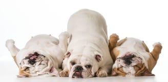 Tre cani Fotografie Stock