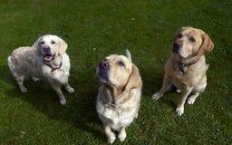 Tre cani Fotografie Stock Libere da Diritti