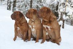 Tre cani. Immagini Stock Libere da Diritti