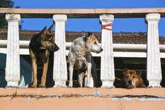 Tre cani attenti dell'orologio sull'allerta del portico Fotografia Stock