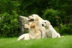 Tre cani bianchi Fotografia Stock Libera da Diritti