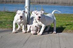 Tre cani bianchi 3 Fotografie Stock
