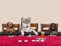 Tre cani che giocano poker Fotografia Stock Libera da Diritti