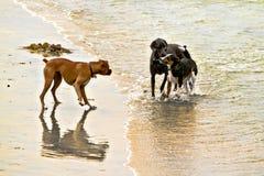 Tre cani che si incontrano sulla spiaggia Fotografie Stock