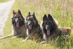 Tre cani da pastore che si trovano nell'erba Immagine Stock
