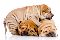 Tre cani del bambino di Shar Pei Fotografie Stock