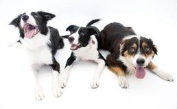 Tre cani hanno isolato Fotografia Stock