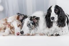 Tre cani insieme Immagini Stock