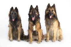 Tre cani, pastore belga Tervuren, seduta, isolata su briciolo Immagini Stock Libere da Diritti