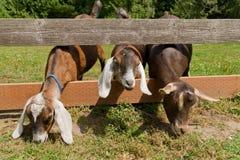 Tre capre Fotografia Stock