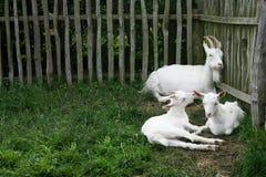 Tre capre bianche fotografia stock libera da diritti