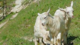 Tre capre del bambino della montagna che camminano sul pendio verde archivi video