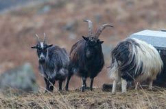 Tre capre fanno una pausa un alimentatore del bestiame su un piccolo monticello in Scotlan immagine stock