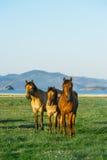 Tre cavalli Cavallo nella riserva naturale del lago Baikal Immagine Stock