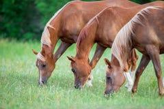 Tre cavalli che mangiano erba verde nel campo Immagine Stock