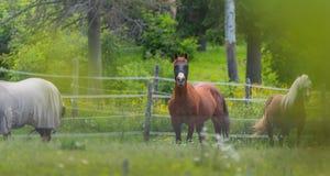 Tre cavalli che pascono e che si rilassano in un prato di estate di primavera Immagine Stock Libera da Diritti