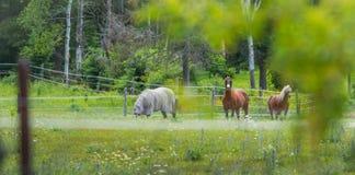 Tre cavalli che pascono e che si rilassano in un prato di estate di primavera Fotografia Stock Libera da Diritti