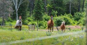 Tre cavalli che pascono e che si rilassano in un prato di estate di primavera Fotografia Stock