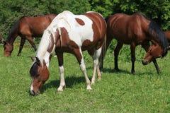 Tre cavalli che pascono su un prato Immagini Stock