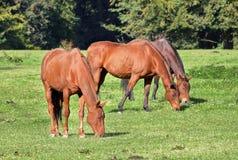 Tre cavalli di baia di pascolo Fotografie Stock