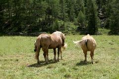 Tre cavalli di baia su una terra di pascolo sulle alpi italiane in un giorno soleggiato Immagine Stock