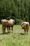 Tre cavalli di baia su una terra di pascolo sulle alpi italiane in un giorno soleggiato Fotografie Stock